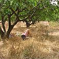 Sieste à l'ombre des citronniers